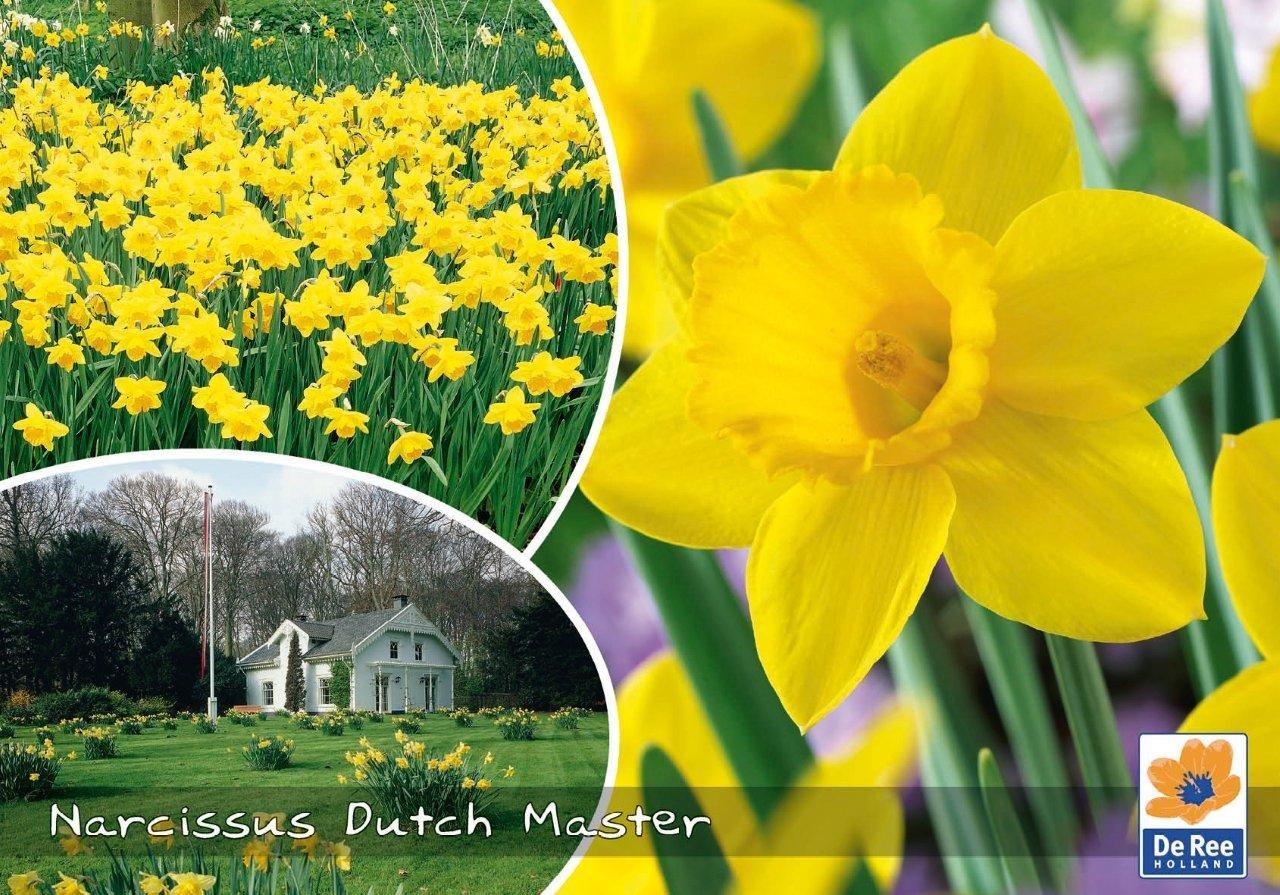 Narcissus Dutch Master - Påskeliljer 40 løg