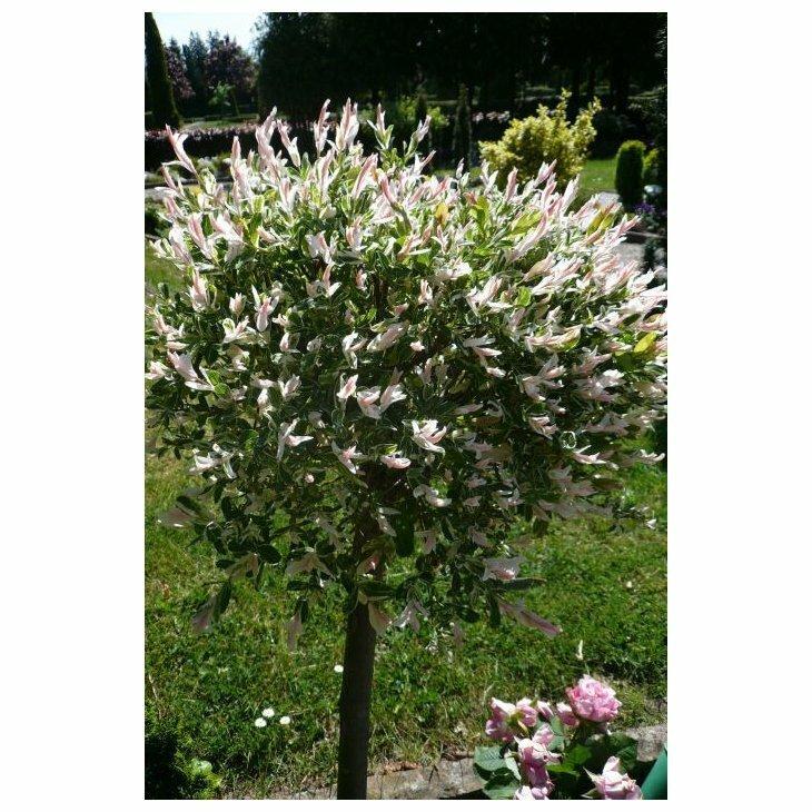 Japansk blomsterpil - Salix integra 'Hakuro Nishiki'