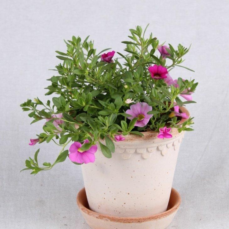Petunia Million Bells- Calibrachoa - i lyserød