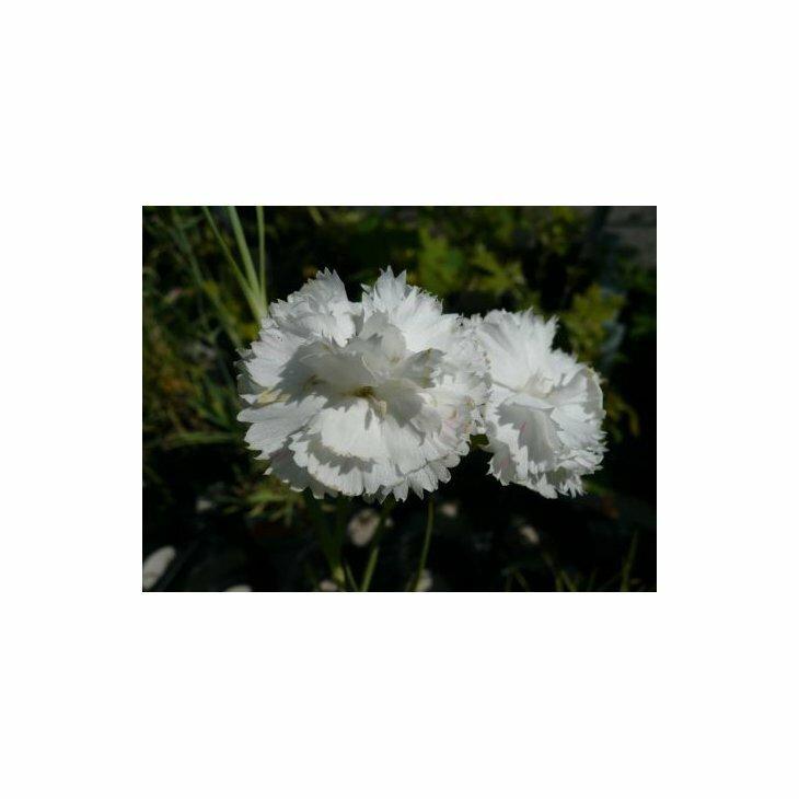 Havenellike - Dianthus caryophyllus, hvide i 1 l potte