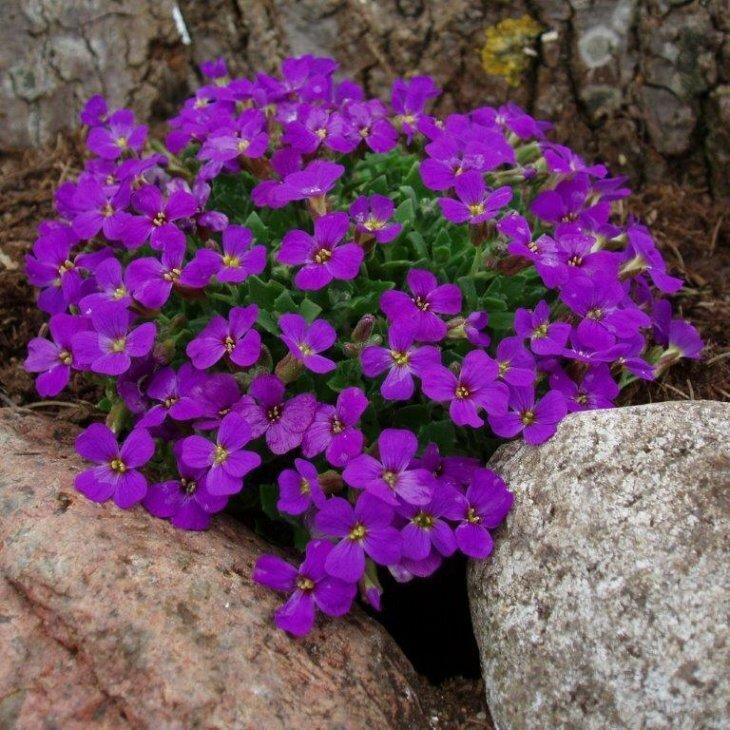 Blåpude - Aubrieta hybrid 'Blaumeise' i 1 l potte