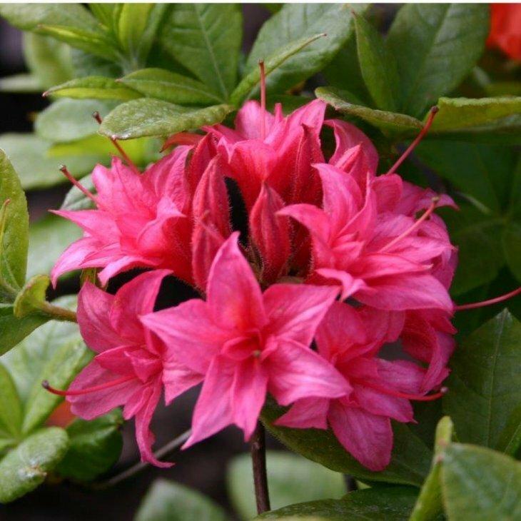 Rhododendron knaphill 'Homebush' i 5 l potte