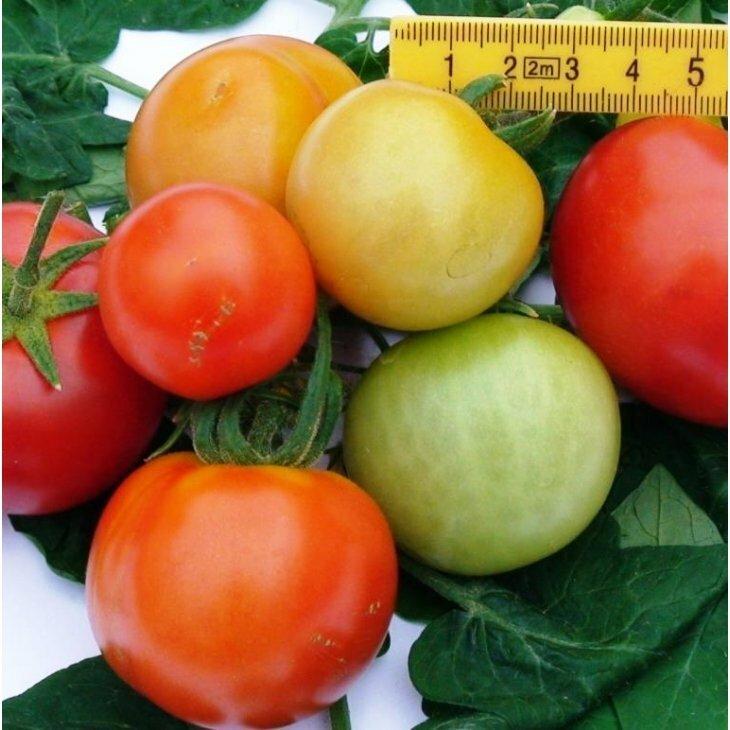 Almindelig tomat Gemini