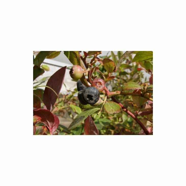 Blåbærbusk storfrugtet - Vaccinium cor. 'Elisabeth' i 3 L potte