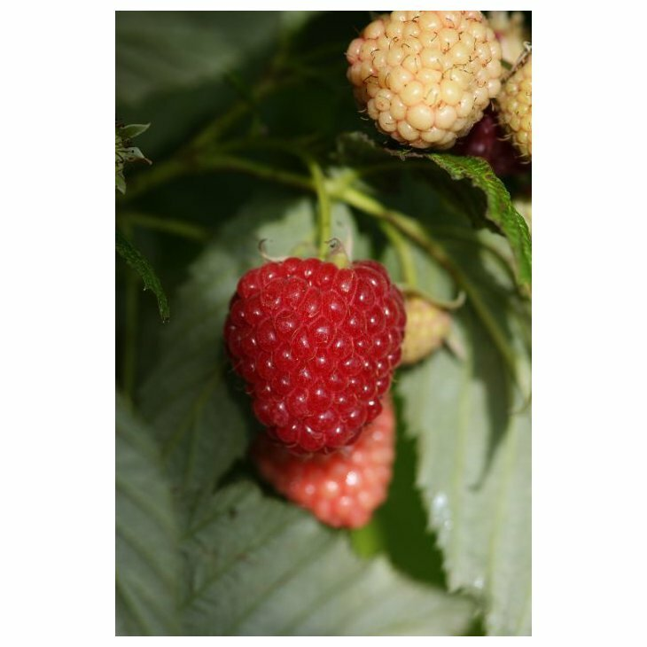 Hindbærbusk efterårs - Rubus 'Polka' i 2 l potte