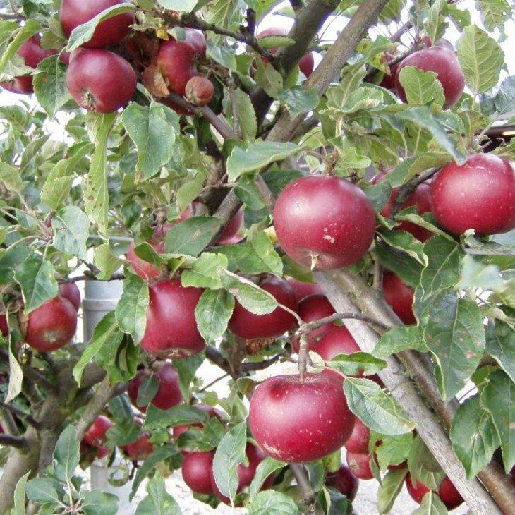 Æbletræ Ingrid Marie