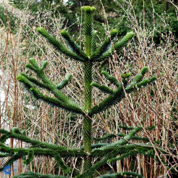 Abernes skræk - Araucaria araucana