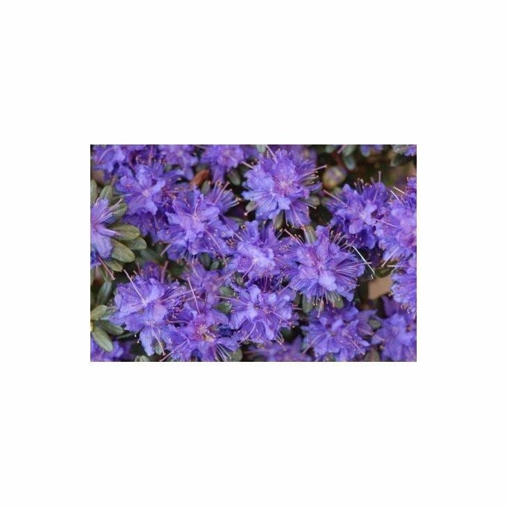 Rhododendron 'Azurika' i 2 l potte