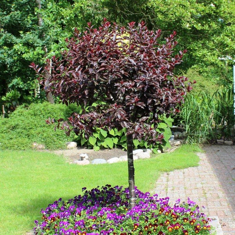 Dværgblodblomme - Prunus cistena på stamme