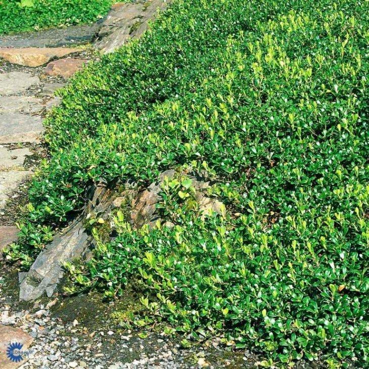 Melbærrisplanter - Arctostaphylos uva-ursi i 10 cm potte