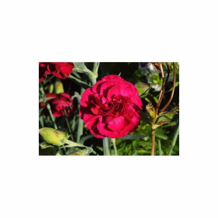 Havenellike - Dianthus caryophyllus, rød i 1 l potte