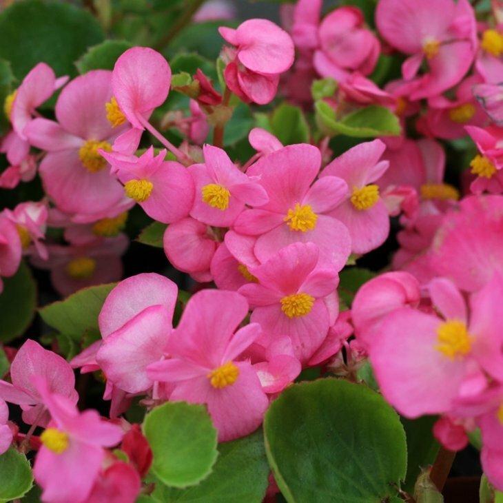 Isbegonie i rosa med grønne blade