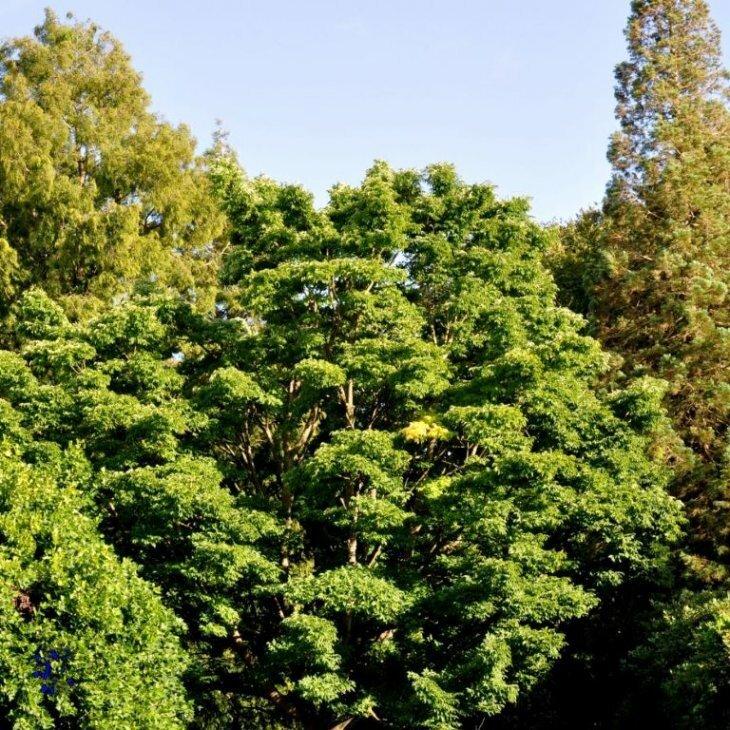 Korktræ - Phellodendron amurense