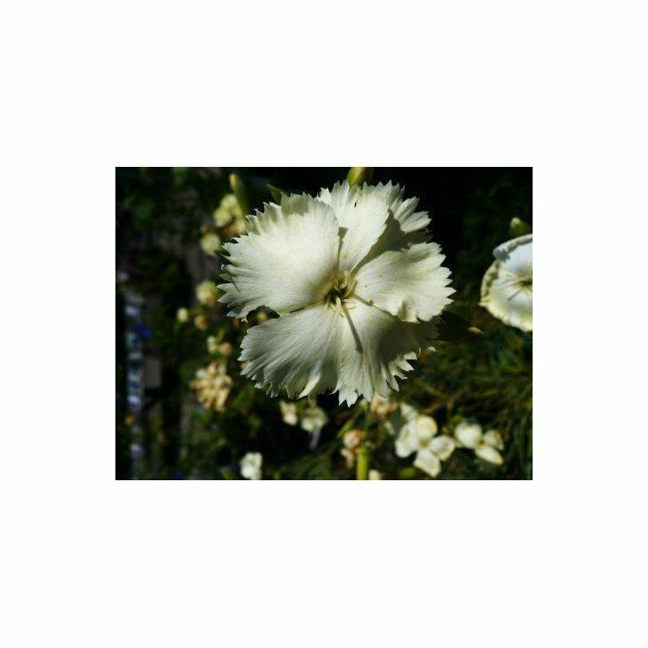 Havenellike - Dianthus caryophyllus, gul i 1 l potte