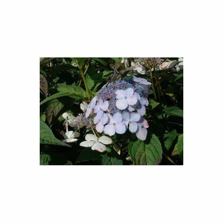 Havehortensia - Hydrangea macrophylla ssp. serrata 'Blue Bird' i 5 l potte