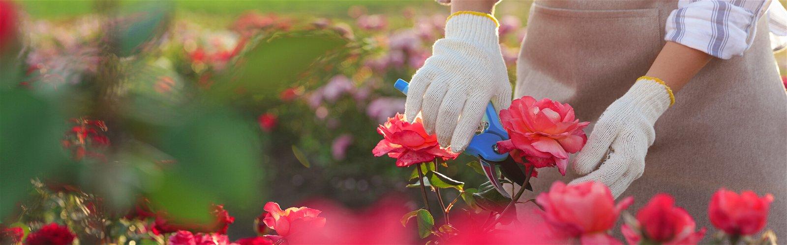 Beskæring af roser