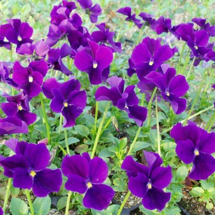 Hornviol - Viola cornuta 'Hansa'
