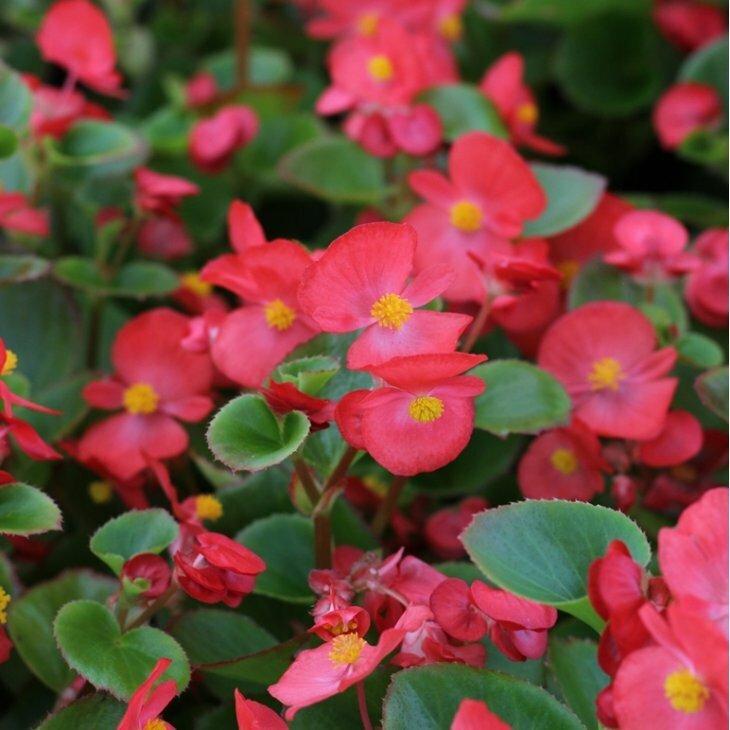 Isbegonie i rød med grønne blade