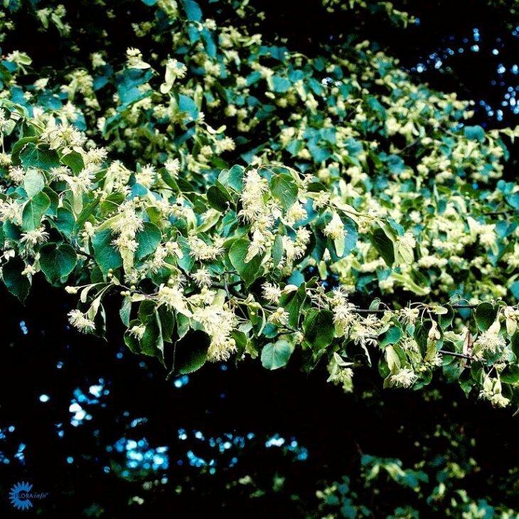 Småbladet lind - Tilia cordata 'Greenspire'