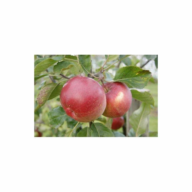 Æbletræ Ritt Bjerregaard