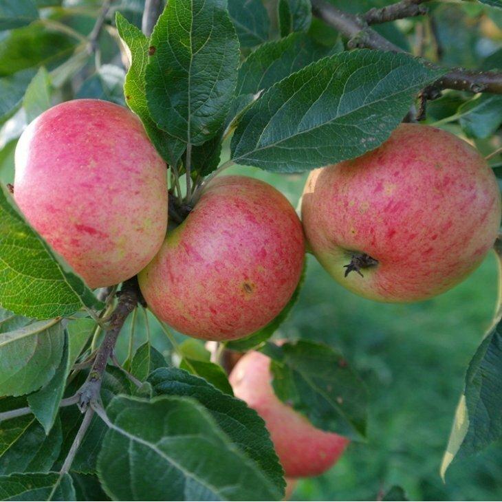 Æbletræ Discovery