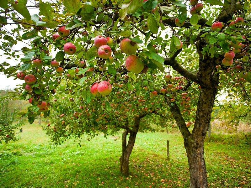 Æbletræer med masser af æbler på