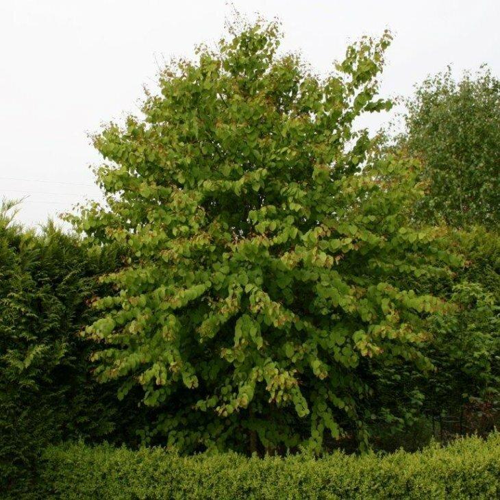 Hjertetræ - Cercidiphyllum japonicum