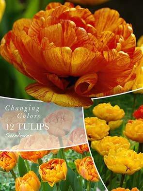 Changing Colors Tulipa Sunlover 12 løg