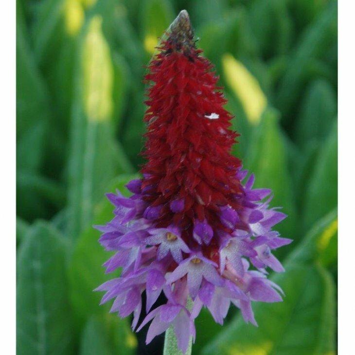 Hyacintprimula - Primula vialii