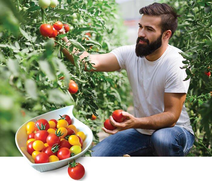 Mand plukker tomater