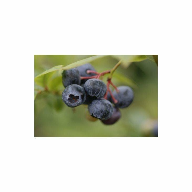 Blåbærbusk storfrugtet - Vaccinium cor. 'Duke' i 5 L potte