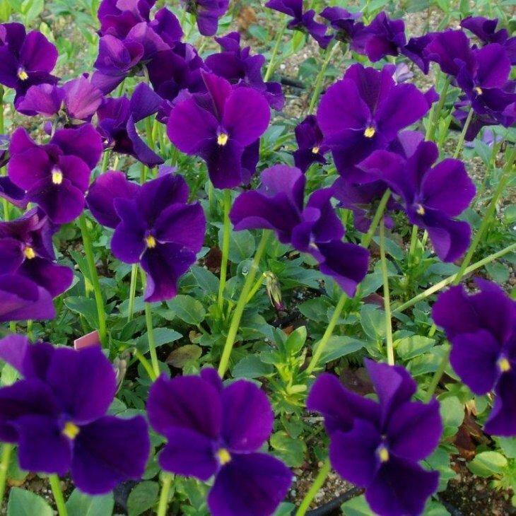 Hornviol - Viola cornuta 'Germanica'