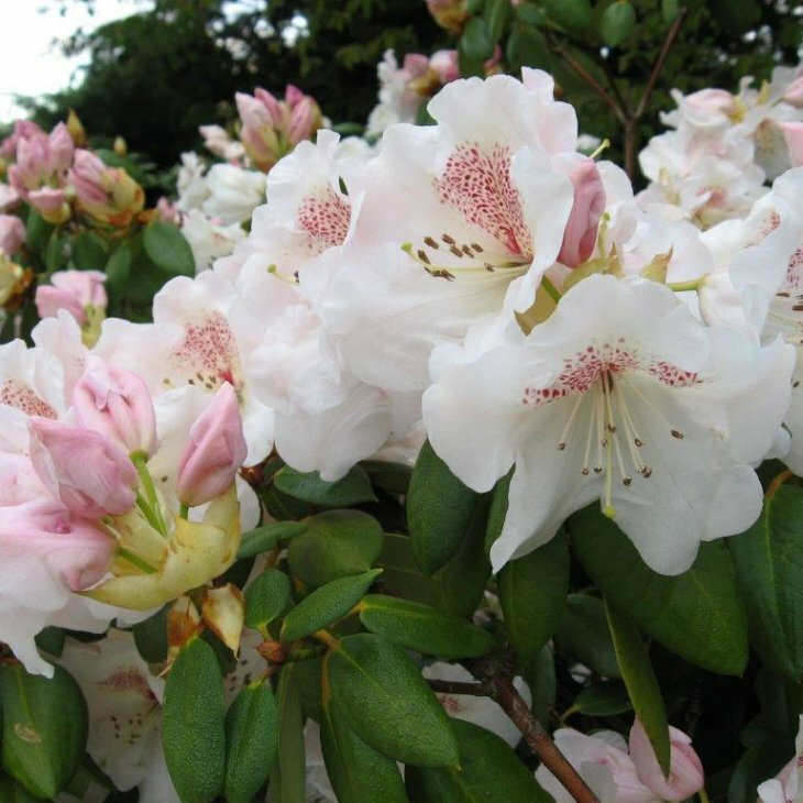 Rhododendron williamsianum 'Gartendirektor Rieger' i 5 l potte
