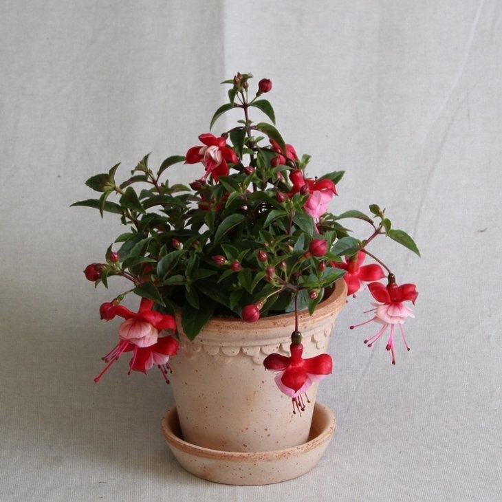 Fuchsia, hængeform, rød med rosa klokke