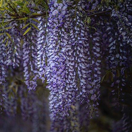 Blåregn - Wisteria sinensis 'Prolific' i 2 l potte
