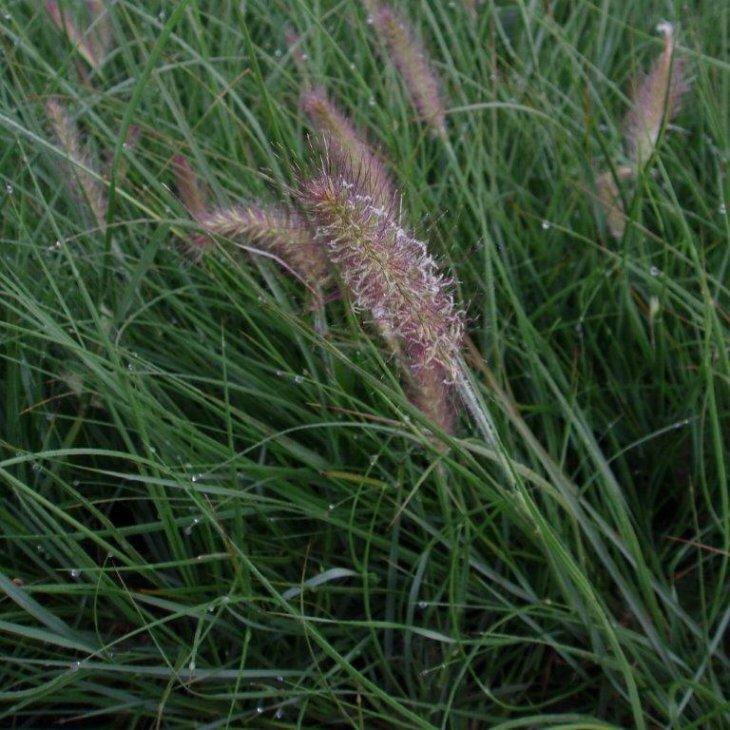 Lampepudsergræs - Pennisetum alopecuroides 'Hameln'