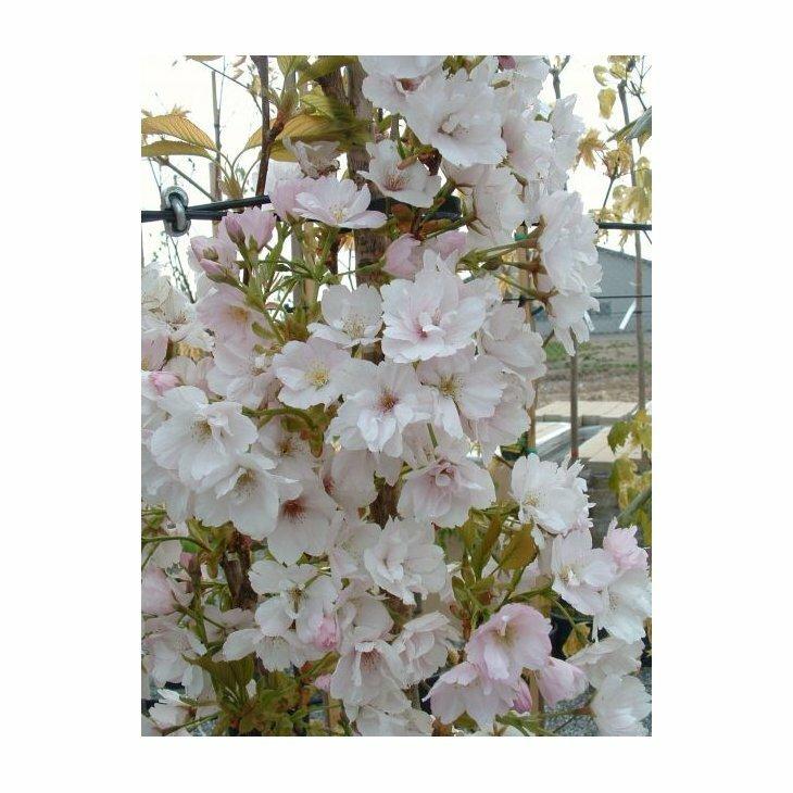 Japansk søjlekirsebær - Prunus s. 'Amanogawa'