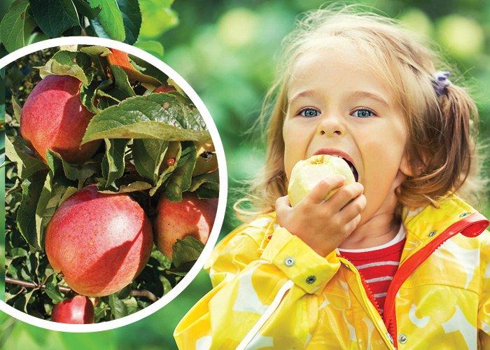 Æblet til allergikeren: Malus Santana