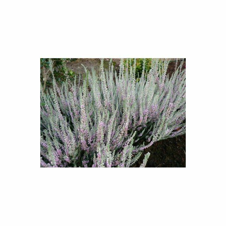 Efterårslyng - Calluna vulgaris 'Silver Knight'