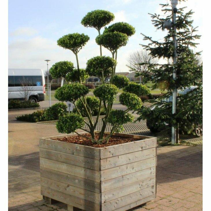 Kristtorn - Ilex crenata 'Impala' som bonzai til haven