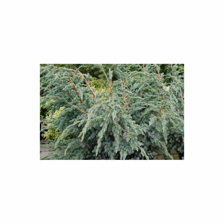 Enebær - Juniperus squamata 'Meyeri' 25-30 cm