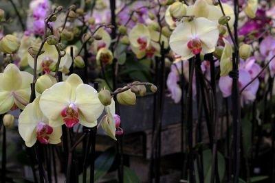 Blomstrende stueplanter