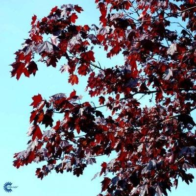 Træer med røde blade