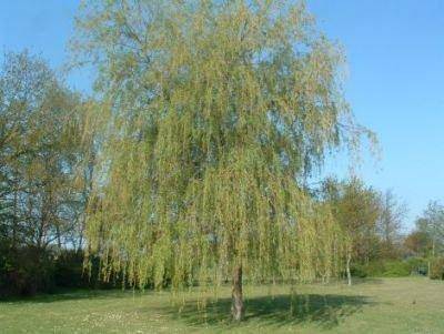 Hurtigt voksende træer