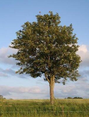 Træer, kugleformet krone