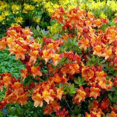 Løvfældende Rhododendron