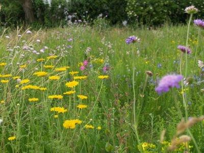 Bivenlige blomster- og miljøfrø