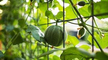 Melonplanter m.fl.
